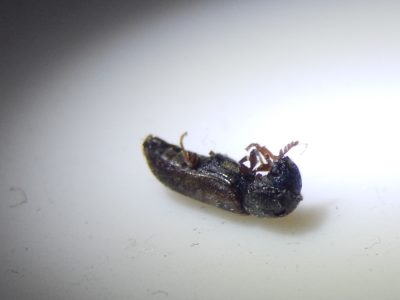Gekämmter Nagekäfer